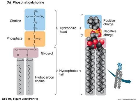 diagram of phospholipid biological sciences bsc 2010 gt d elia gt flashcards