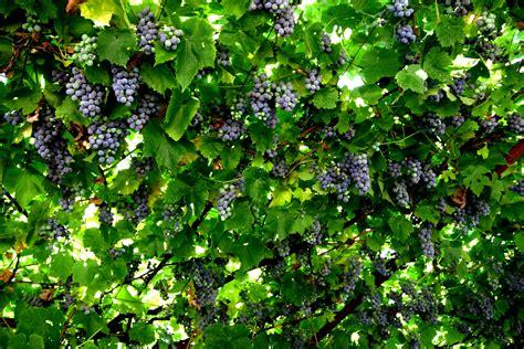 Of The Vine by My S Grape Vine Jays Travels Weblog
