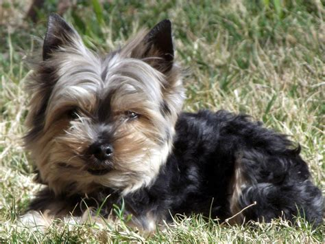 pictures of yorkies dogs yorkie in yard 4 free stock photo domain pictures