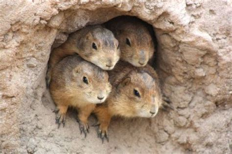 where do prairie dogs live 10 interesting prairie facts my interesting facts