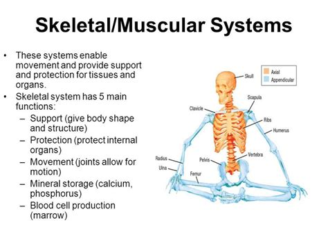 Muscular Structure And Function Structure And Function Of - Arsip ...