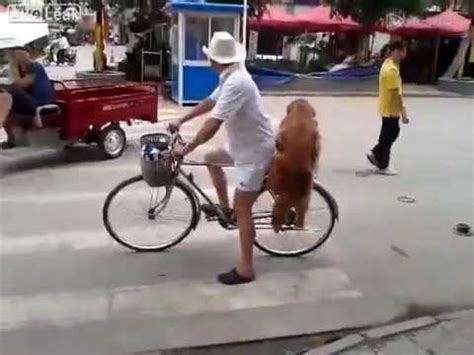golden retriever protects baby 17 best images about bichos on two dogs the matrix and whistler