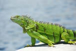 iguana alimentazione iguana verde l alimentazione tutto ze
