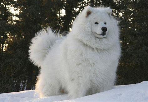 cocos grandes y peludos todas las razas de perros peludos peque 241 os medianos