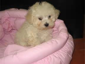 French Poodle Puppies » Home Design 2017