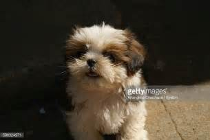 how to my shih tzu puppy to sit shih tzu stock photos and pictures getty images