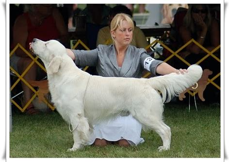 golden retriever breeders in ireland kennel club golden retriever puppies scotland dogs our friends photo