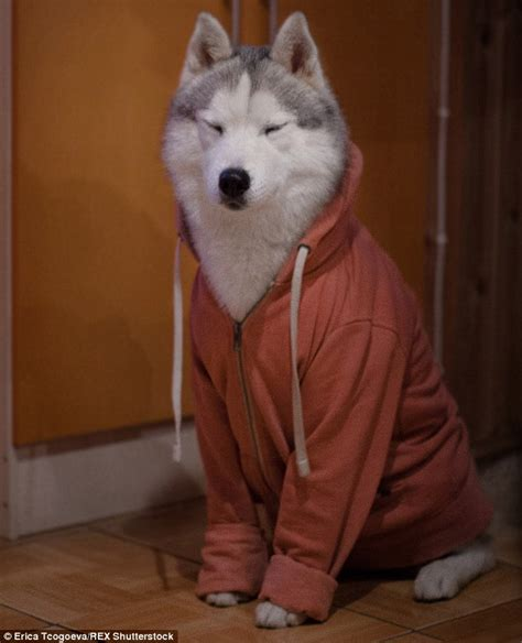Shirt Dogs Are Not Food russian photographer dresses siberian huskies in human