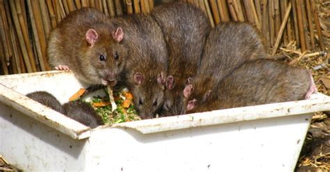 bird feeders rats ehow uk