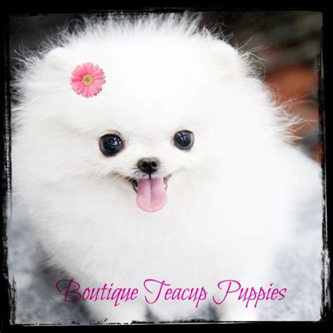 teacups dogs seriously this teacup puppy everything pinte