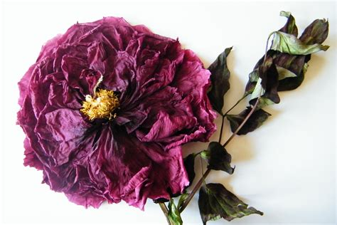 dried flowers dried flower pictures flower