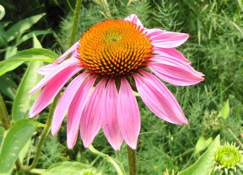 Echinacea Purple Coneflower T1310 4 magnus purple coneflower echinacea purpurea 30 seeds gemsandstems info