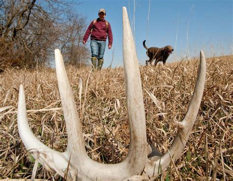 Looking For Deer Sheds by On The Hunt For Antler Sheds Missouri Department Of