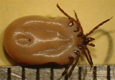 deer tick on deer tick or black legged tick 183 msu plant and pest diagnostic services