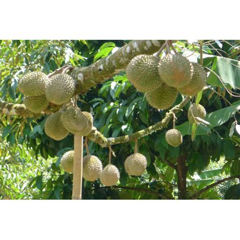 Bibit Durian Musang King jual bibit durian musang king 40 cm hp 0856 0856 6034