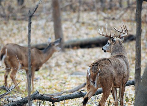 pattern whitetail deer a whitetail primer how to pattern deer in the rut bowhunter