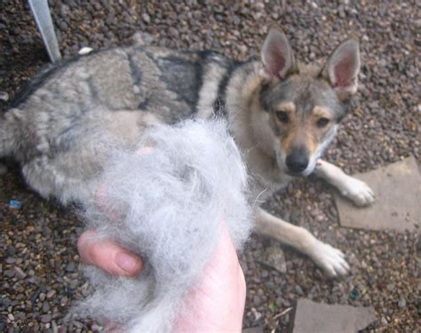 German Shepherd Shedding Problems by 5 Tips To Minimize Shedding Iheartdogs