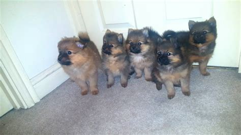 teddy pomeranian for sale in teddy breed photos breeds picture