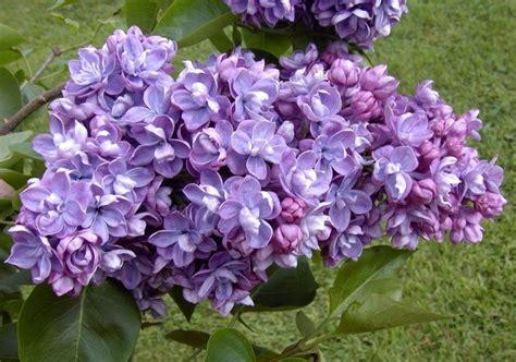 pianta lilla in vaso lill 224 syringa vulgaris syringa vulgaris piante da