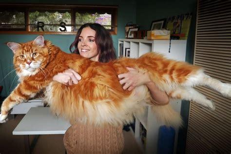 chat haus omar le chat le plus grand du monde