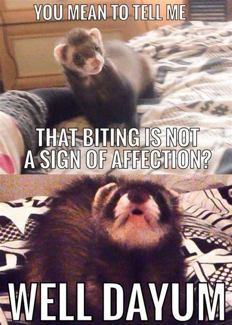 Ferret Meme - 336 best ferrets images on pinterest ferrets pet ferret