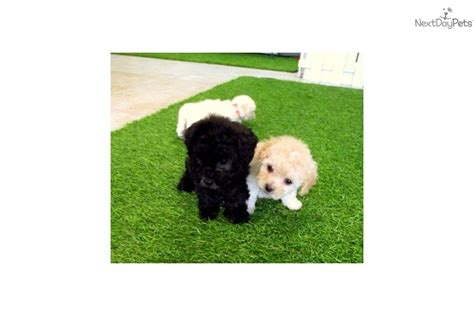 maltipoo puppies for sale in california image of maltipoo breeders illinois breeds picture
