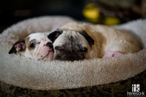 are pugs related to bulldogs pug and bulldog puppy heaven pug