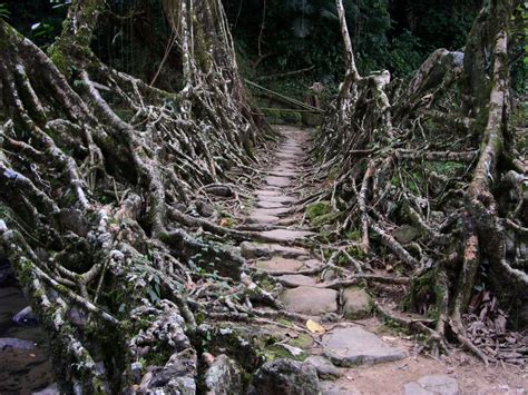 living bridges living root bridges utaot