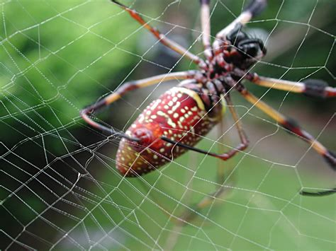could spider venom be the next viagra daily mail online venom from the banana spider could be the new viagra