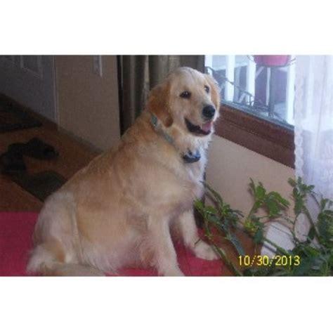 golden retriever breeders in nebraska akc golden retriever puppies golden retriever breeder in bayard nebraska listing id