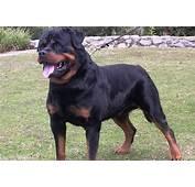 Perros De Raza  Rottweiler