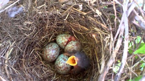 how to hatch bird eggs mockingbird egg hatches