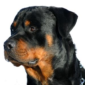 manly dogs top 10 manly breeds for breeds picture