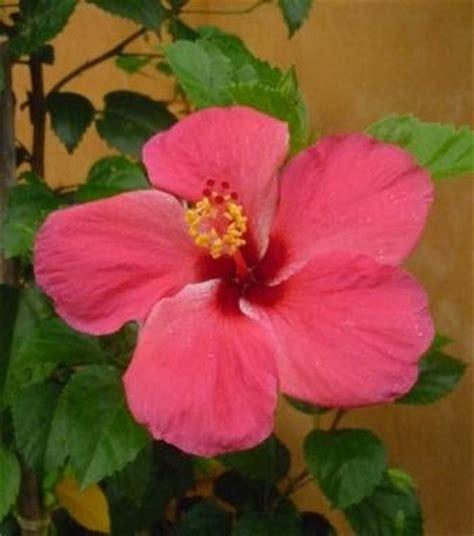 Teratai Merah Tunggal Cantik cantiknya bunga kebangsaan kita laman kita