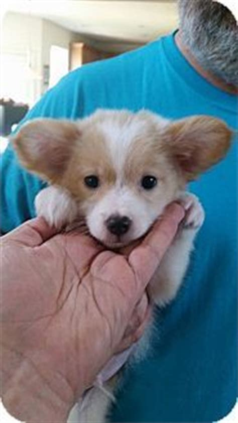 corgi pomeranian puppies salisbury nc corgi pomeranian mix meet teddy roosevelt a puppy for adoption http