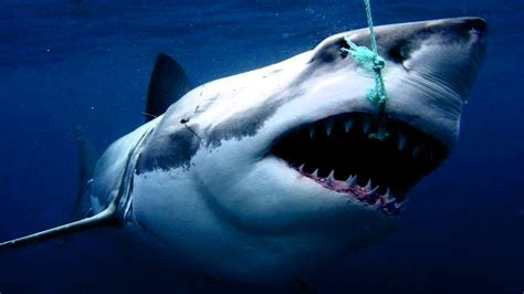 shark attacks fishing boat shark attacks fishing boat perth now