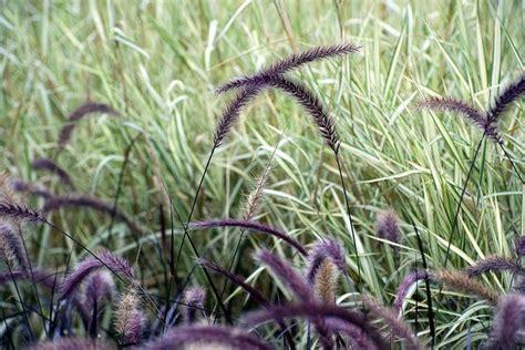 purple fountain grass pennisetum setaceum to grow and