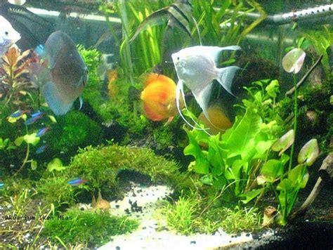 membuat aquarium ikan hias air tawar  pemula