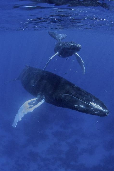 17 best ideas about humpback whale migration on