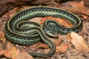 Garter Snake Lighting Requirements Eastern Garter Snake