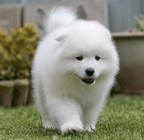 samoyed puppy price 17 best images about samoyeds on best friends and samoyed dogs