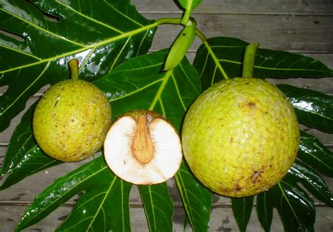 Breadfruit [???]. . . my morning chow today   ImageNation