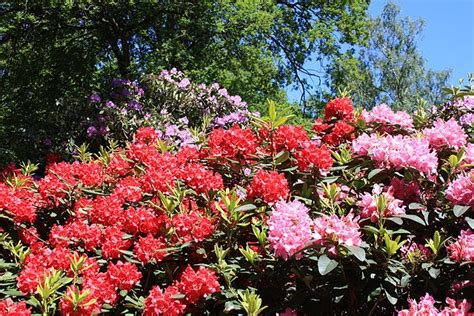wann schneidet rhododendron riesen rhododendron kann ich den schneiden phlora de