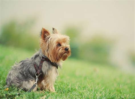 yorkie puppy shoo terrier rasseportrait im hunde magazin zooroyal magazin