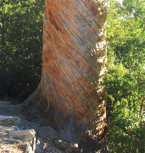 tree water sugar spiral of wood grain in tree trunks at san jacinto mountain