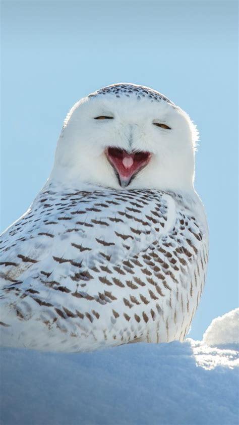 snowy owl yawning       laughing