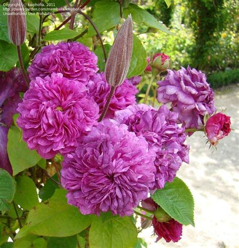 Rosa Cottage by Plantfiles Pictures Climbing Polyantha S