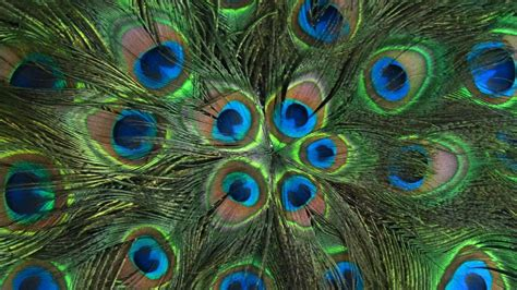 peacock background peacock feather background www imgkid the image