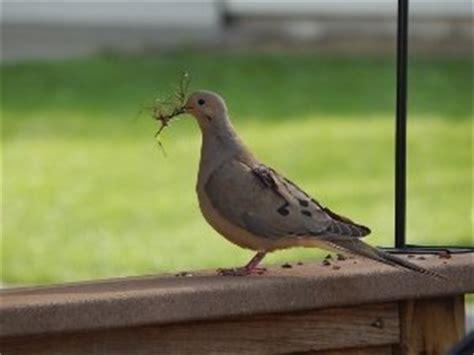 mourning doves habits mating eating nesting lifespan