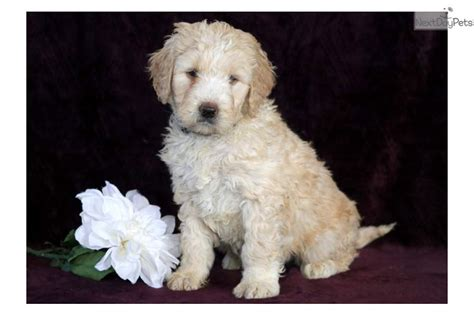 goldendoodle puppy application trisha goldendoodle puppy for sale near lancaster